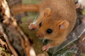 hazel dormouse get involved training
