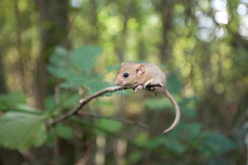 hazel dormouse arboreal rodent furry tail black eyes