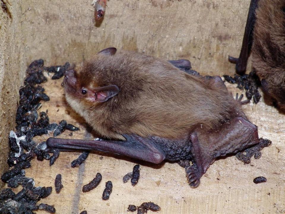 dormouse nest box bat