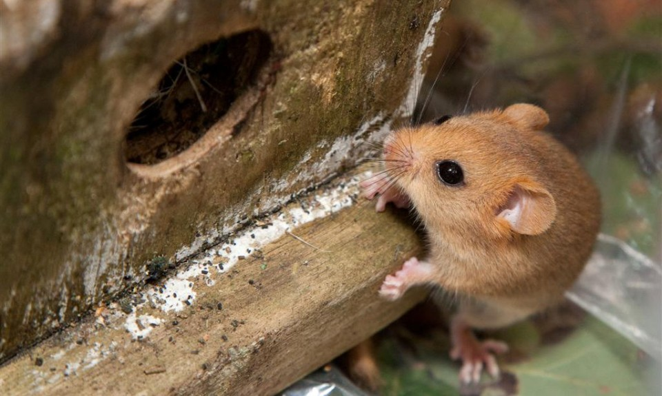 volunteer dormouse hampshire survey
