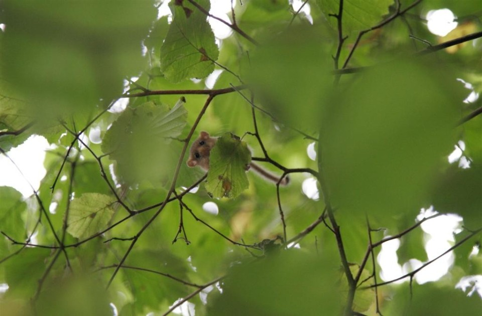 hazel dormouse in canopy